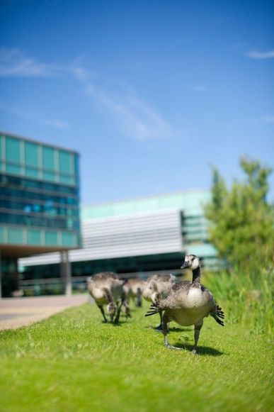 ducks-at-the-faculty-of-health-and-social-care.jpg